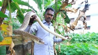 Download Vava Suresh Rescuing a Common Krait & Two Big Rat Snakes | SNAKE MASTER Ep 193 | Kaumudy TV Video