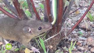 Download Mouse Vs Snake - Big Battle - Wild Animals Fight Video