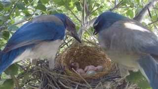 Download New Chicks in Scrub Jay Nest - Series Highlights 4-20-2015 V17634 Video