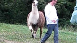 Download Funny Llama Attack!! Video