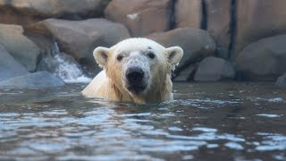 Download So Much to Care For: Siku the Polar Bear Video
