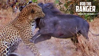 Download Leopard Catches A Warthog | Rob The Ranger Special Edition Video