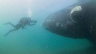 Download Approached by Southern Right Whales in Patagonia Video