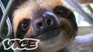 Download Baby Sloth Sanctuary In Costa Rica: The Cute Show Video