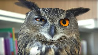 Download Eagle Owl Found Hiding In Library! - Earth Unplugged Video