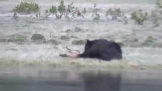 Download Bear eating an elk calf. Part 1 Video