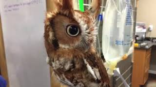 Download W@HR Screech Owl being videoed in Owl-Steal-Your-Soul-A-Vision Video