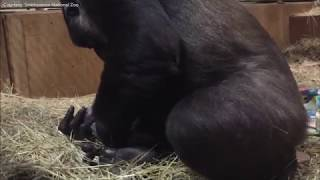 Download Raw: Video captures gorilla giving birth at National Zoo Video