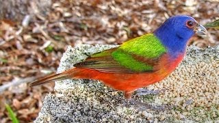 Download Painted Buntings - Up Close and Hungry! Video