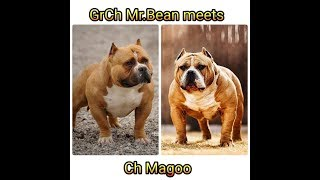 Download Muscletone's Ch Magoo meets Grand Champion Mr.Bean Video