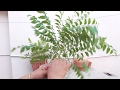 Download How to grow Curry Leaves Plant by cutting || Kadi Patta from cutting || 8 June, 2017 Video