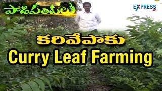 Download Curry Leaf Farming : Succes Story Of Khammam Farmer | Paadi Pantalu | Express TV Video