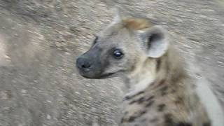 Download its just a hyena Video