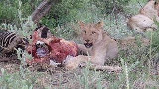 Download Madikwe Game Reserve: Best of Safari Game Drives HD South Africa Video