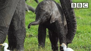Download Baby elephant misbehaves and gets left behind - Spy in the Wild: Episode 4 Preview - BBC One Video
