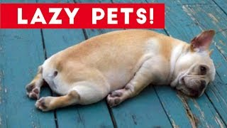 Download Laziest Pets | Cute and Funny Animals Compilation of 2017 | Funny Pet Videos Video