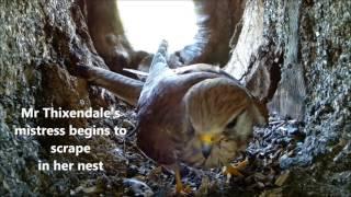 Download Robert E Fuller: The Two-Timing Kestrel Video