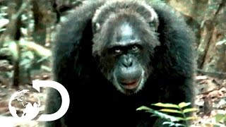 Download Most Brutal Chimpanzee Society Ever Discovered | Rise of the Warrior Apes Video