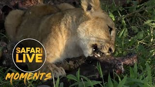 Download Sausage Tree Cubs Tuck Into Buffalo Feast Video