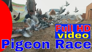 Download Pigeon Race From Gujar khan to Peshawar Video
