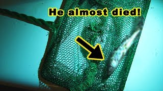 Download My fish went missing for 6 months in a death trap and was later found alive and well. Video