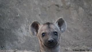 Download Hyenas and Cubs at Den - 20 March 2013 - Latest Sightings Video