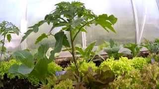 Download Tomaten, Gurken, Erdbeeren (Gewächshaus & Hochbeet perfekt! Film 6) Video