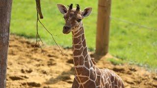 Download Baby giraffe gives its mum the run around! Video