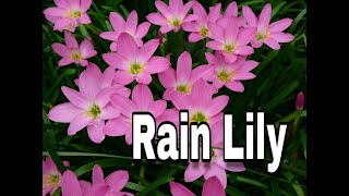 Download HOW TO GROW RAIN LILY FROM SEEDS....IN HINDI Video