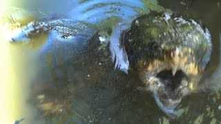 Download MONSTER TURTLE ATTACKS BIG ALLIGATOR - The Alligator Snapping Turtle Video