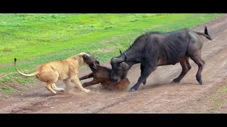 Download Lions hunting a buffalo Serengeti NP, Tanzania Video