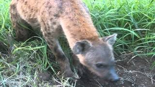 Download Hyena trying to dig warthog our of a drainage pipe Video