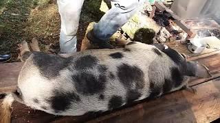 Download MATANDO PORCO CAIPIRA - Tutorial killing pig - MELHOR FORMA DE MATAR Video