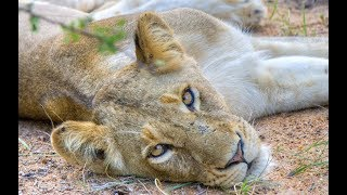 Download Flying with Lions, South Africa - Lions marvel at DJI flying drone Video