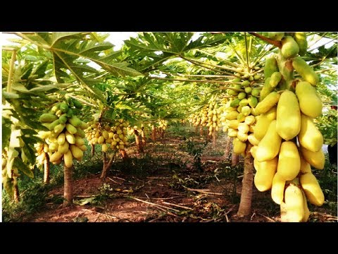 Awesome Papaya cultivation Technology - How to Grow and Harvesting Papaya
