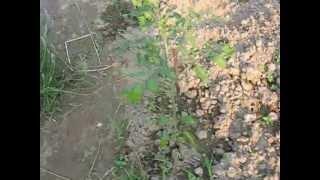 Download Opryskiwanie pomidorów Video