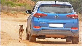 Download Wildebeest Calf Thinks this Car is Its Mother (Cute Ending) Video