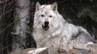 Download International Wolf Center - Birthday Webinars, Medical Exams and Working for Wolves - 10 May 2018 Video