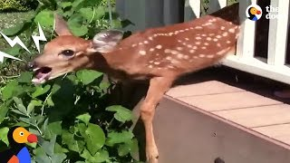 Download Crying Fawn Rescued From Family's Porch | The Dodo Video