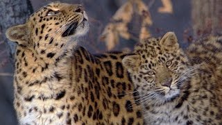 Download A Rare Sighting Of The Amur Leopard - Planet Earth - BBC Earth Video