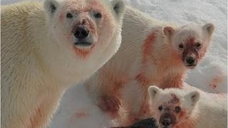 Download Ice Killers - Arctic Cold Predators (Nature Wildlife Documentary) Video