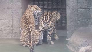 Download 展示再開初日 めっちゃ元気なジャガーっ子たち   天王寺動物園のジャガー Video