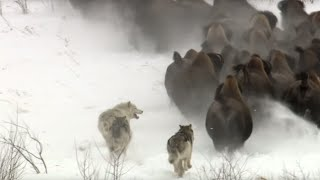 Download Best Wild Animal Chases | Top 5 | BBC Earth Video