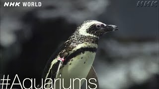 Download Penguin Paradise [Aquariums] - #TOKYO [Japan] Video