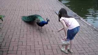 Download Peacock Scare Video