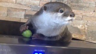 Download カワウソさくら 旬のシャインマスカット手渡したらなんかすごい可愛い Otters and Muscat Video