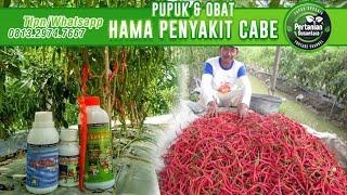 Download Buah Cabe Lebat (pupuk perangsang buah) Video