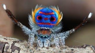 Download Peacock Spider 7 (Maratus speciosus) Video