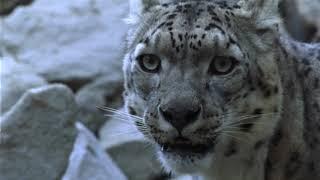 Download Securing livelihoods, saving snow leopards: Snow Leopard Trust's livestock insurance Video