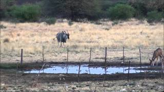 Download Hunting Video - Taking a good Eland Bull in Namibia 2014 Video